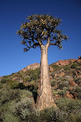 Namibie-Aloe_dichotoma